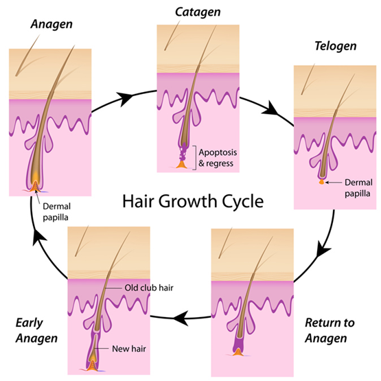 Graphic showing hair regrowth cycle
